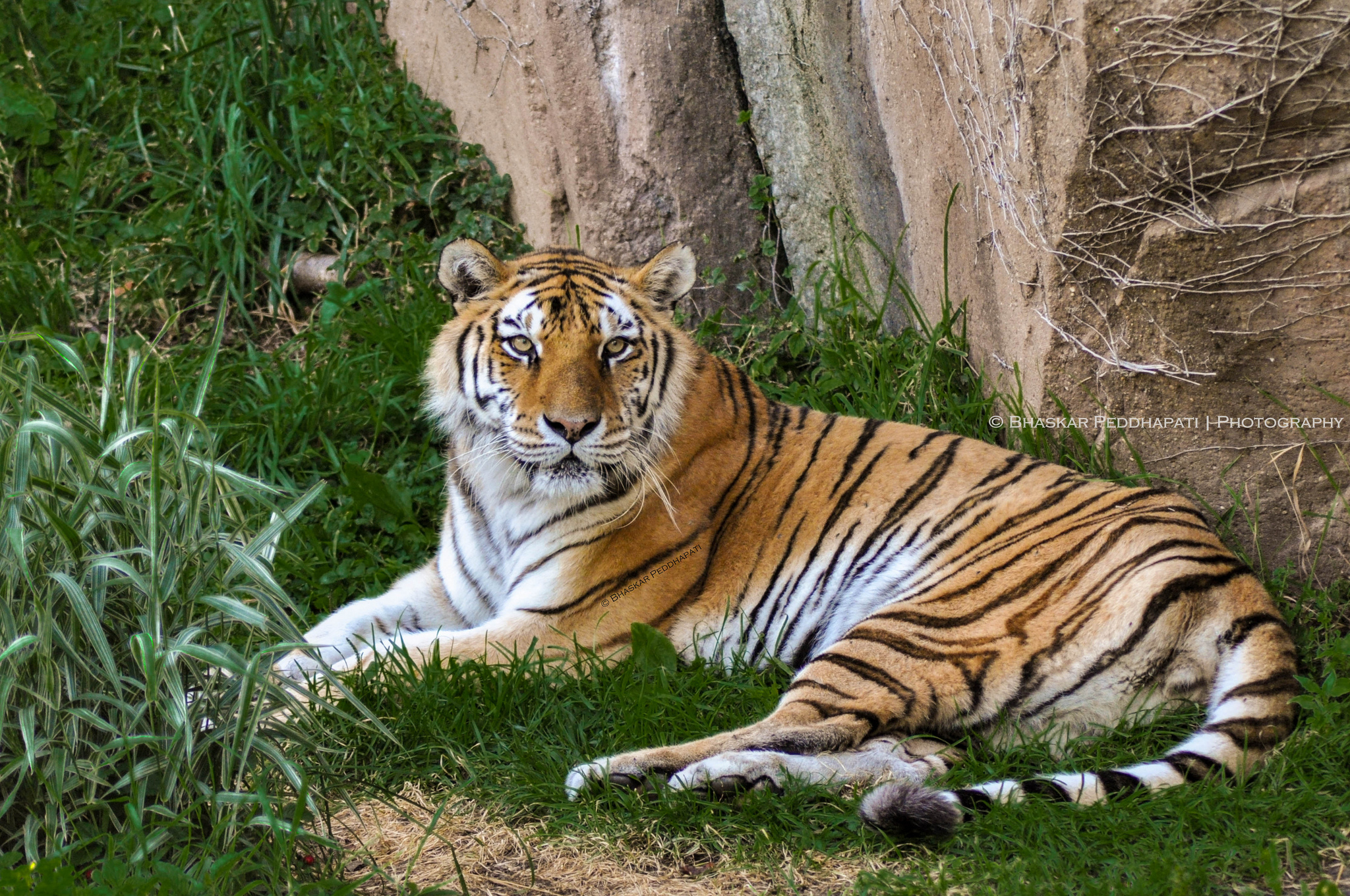 This tiger is one of the best attractions to see in Chicago ... photo by CC user peddhapati on Flickr